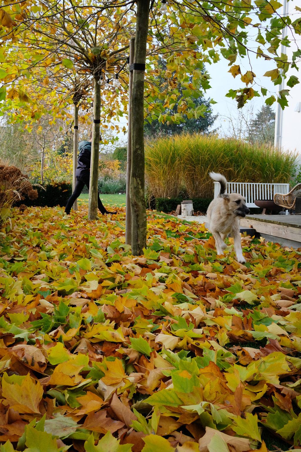 dieartigeGARTEN - Novembergarten | Platanen-Laub, Herbstlaub, goldener Herbst, Blattgold - Kind+Hund