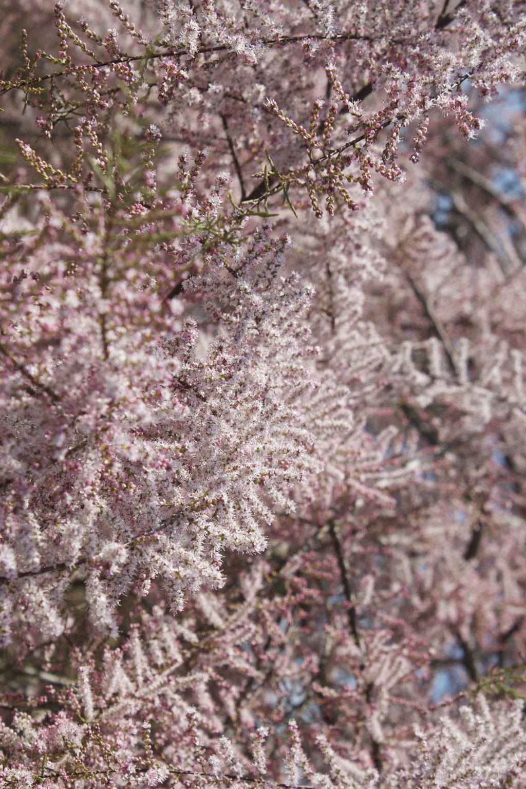 dieartigeBLOG - Special Guest: Tamariske, Teil des Baumes