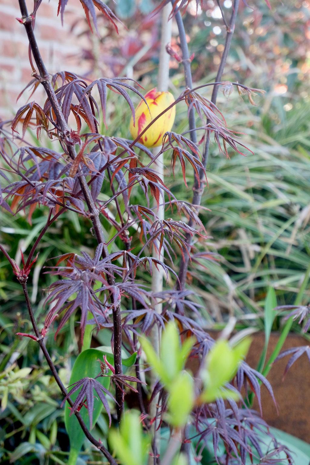 dieartige - GARTEN// Fächerahorn + gelbrote Tulpen