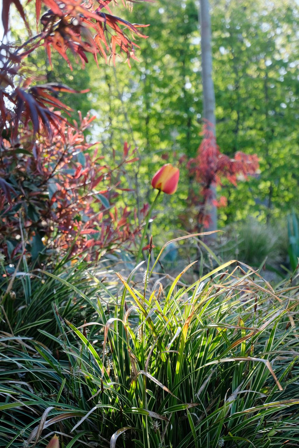 dieartige - GARTEN// Japansegge + Rot-gelbe Tulpen