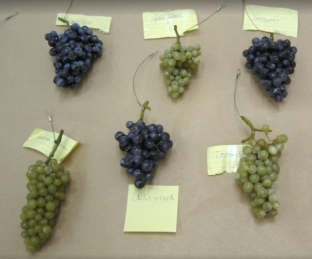 Ficiticios de racimos de uva, variedades gallegas, para exposición