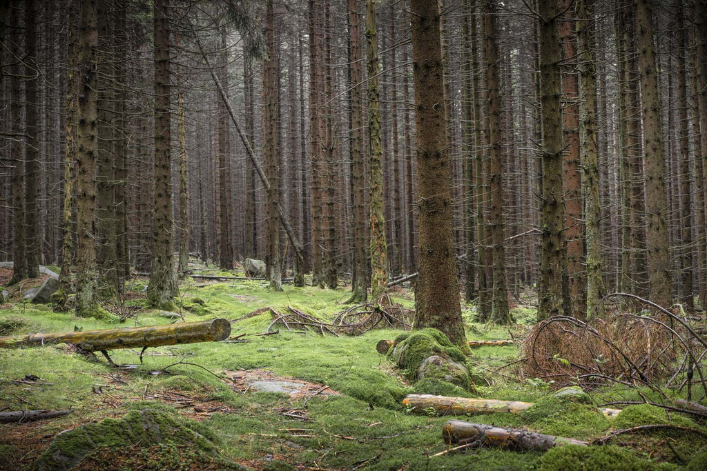 Waldstück auf dem Weg zum Brocken