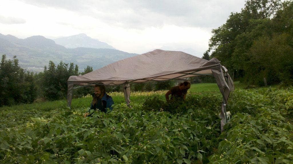 récolte des haricots sous la pluie , on s'adapte !