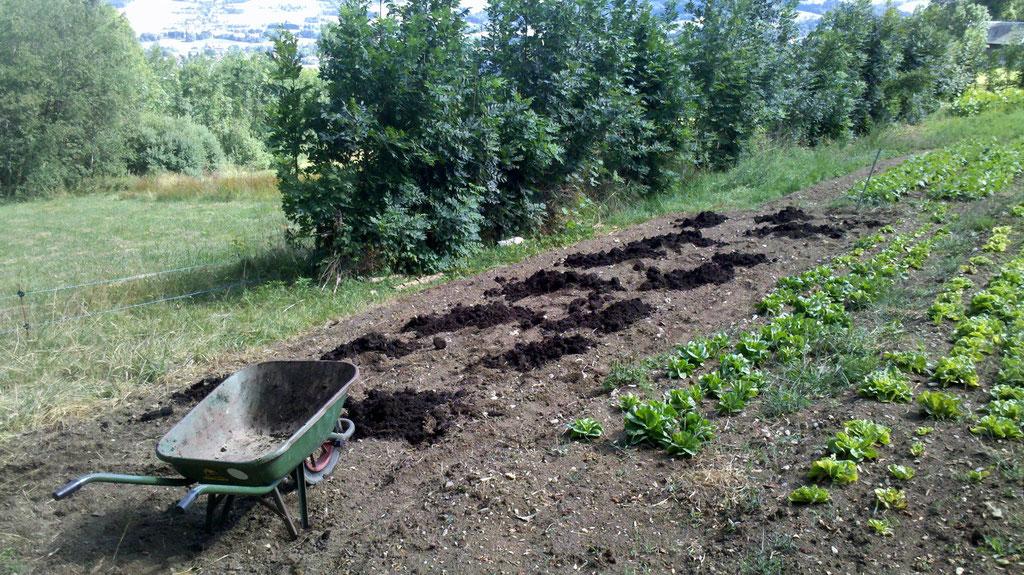 compostage des planches pour la plantation des navets