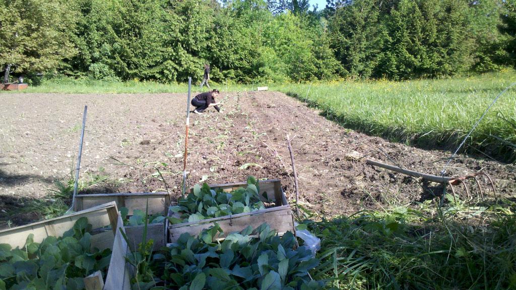 Plantation des choux