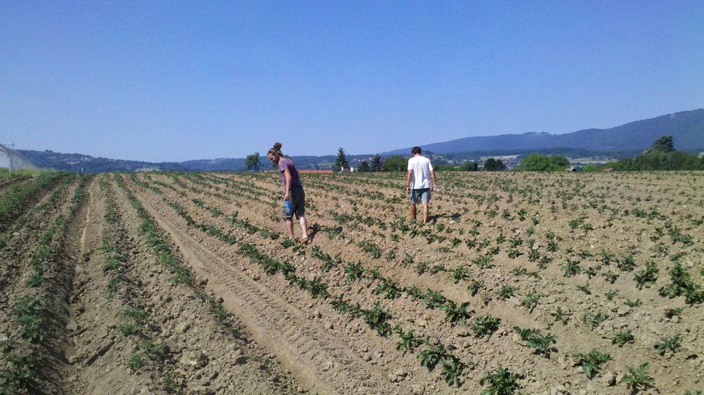 ramassage des doryphores sur les pommes de terre