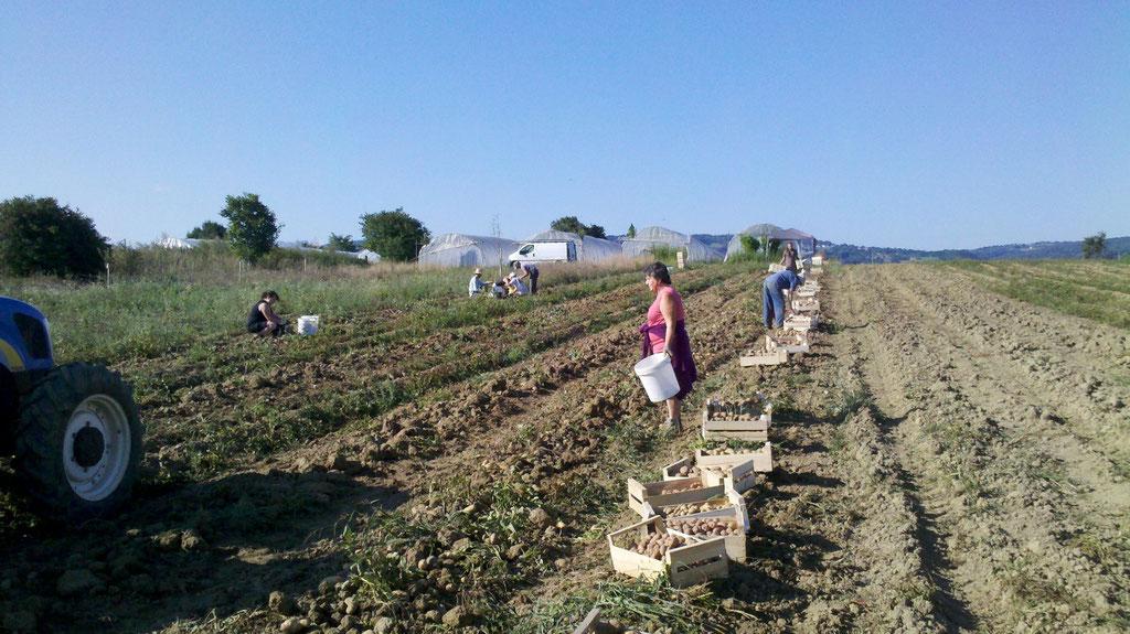 Récoltes des pommes de terre avec les Amapiens