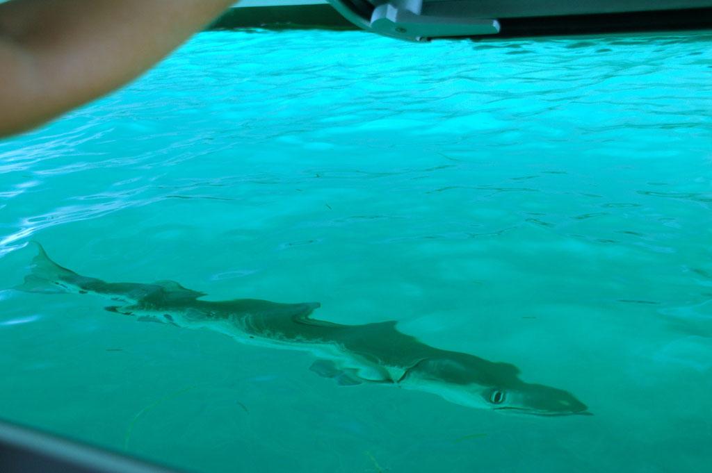 Blick aus der Badluke: Ein ca. 1,5m BARRACUDA bewacht sein Revier unter dem Boot. Da bleibt man wohl besser an Bord.