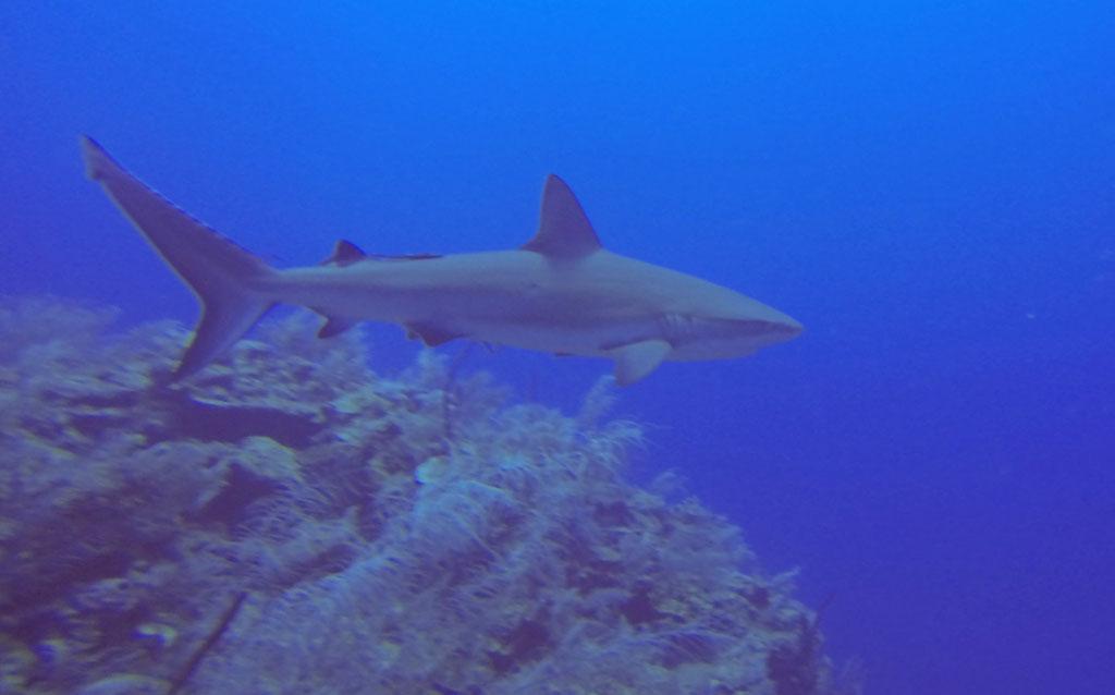 Das Tauchen mit grösseren Haien bringt einen erhöhten Adrenalinspiegel ist aber relativ ungefährlich - solange man ruhig bleibt.