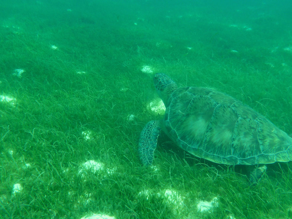 CARETTA CARETTA in den TOBAGO CAYS / ST.VINCENT