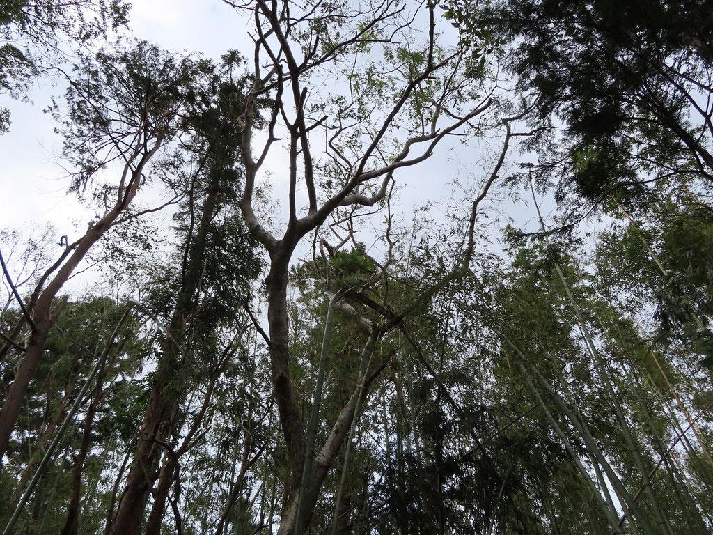 大きな豆の木(サイカチ)