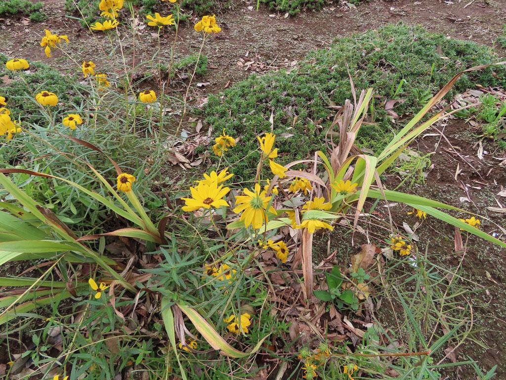 畑に咲いていた黄色い花たち
