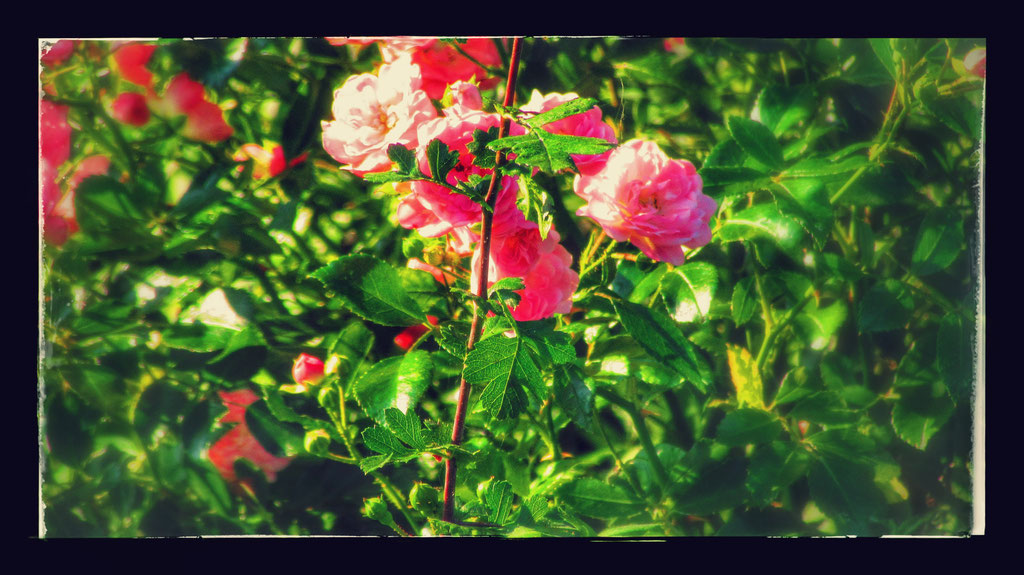 ~ Bild: Special Effects - 'Dorum Roses@North Sea' ~