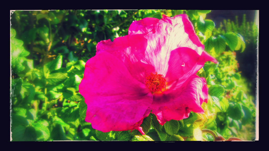 ~ Bild: Special Effects - 'Dorum Wild Rose@North Sea' ~