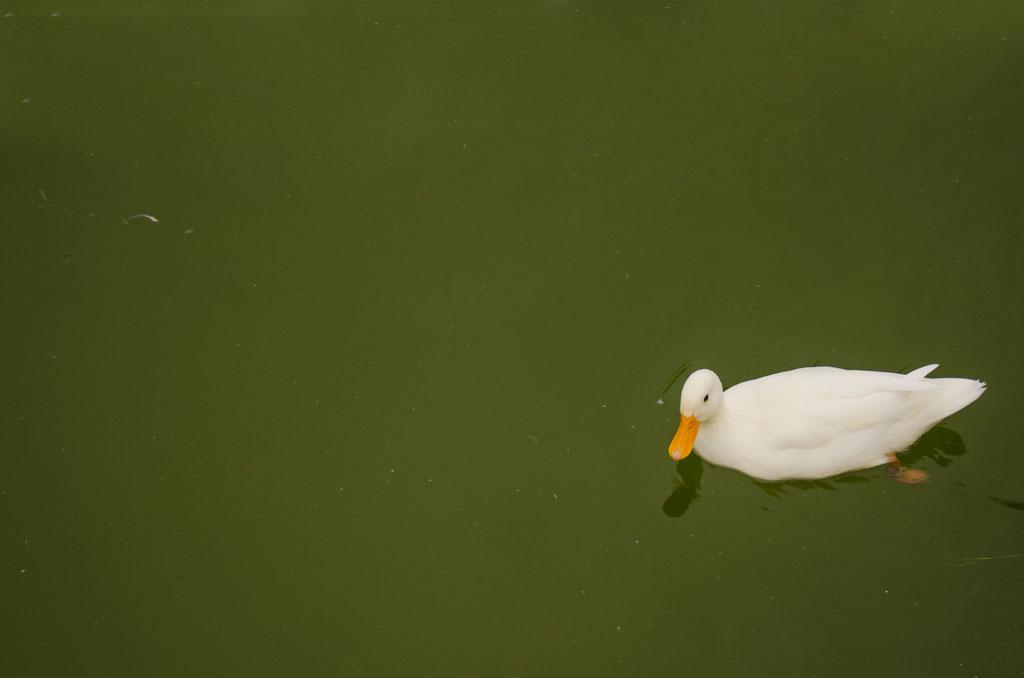 Nadando tranquilamente