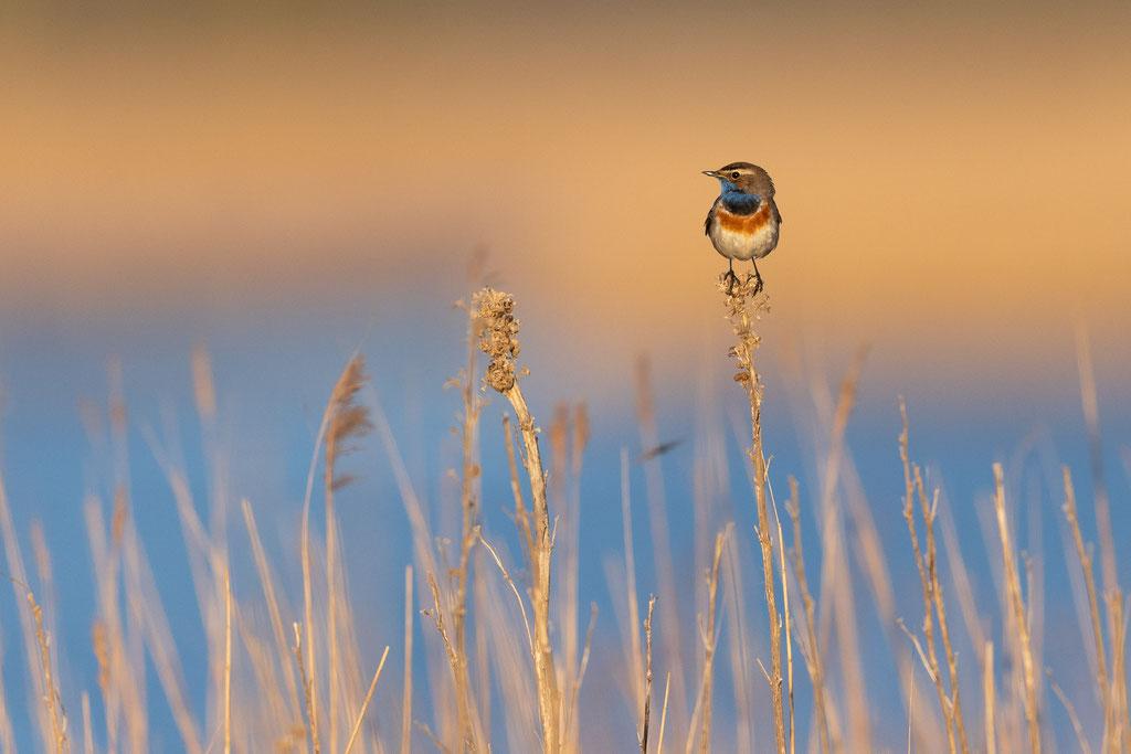 Blaukehlchen im Morgenlicht