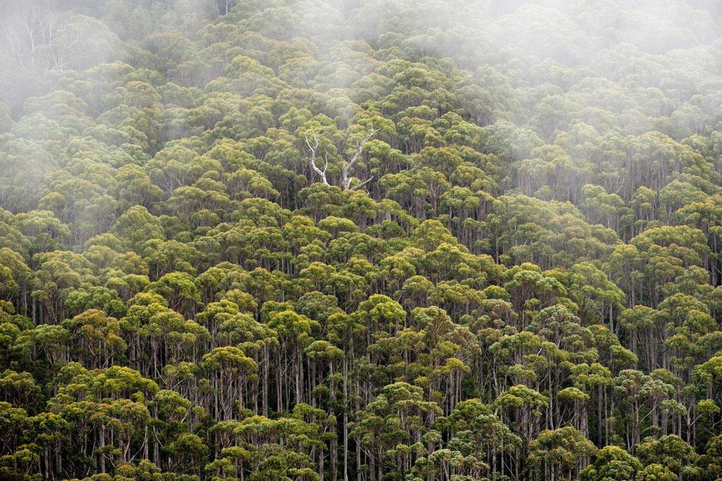 Regenwald Rainforest Clemens Peak, Tasman National Park