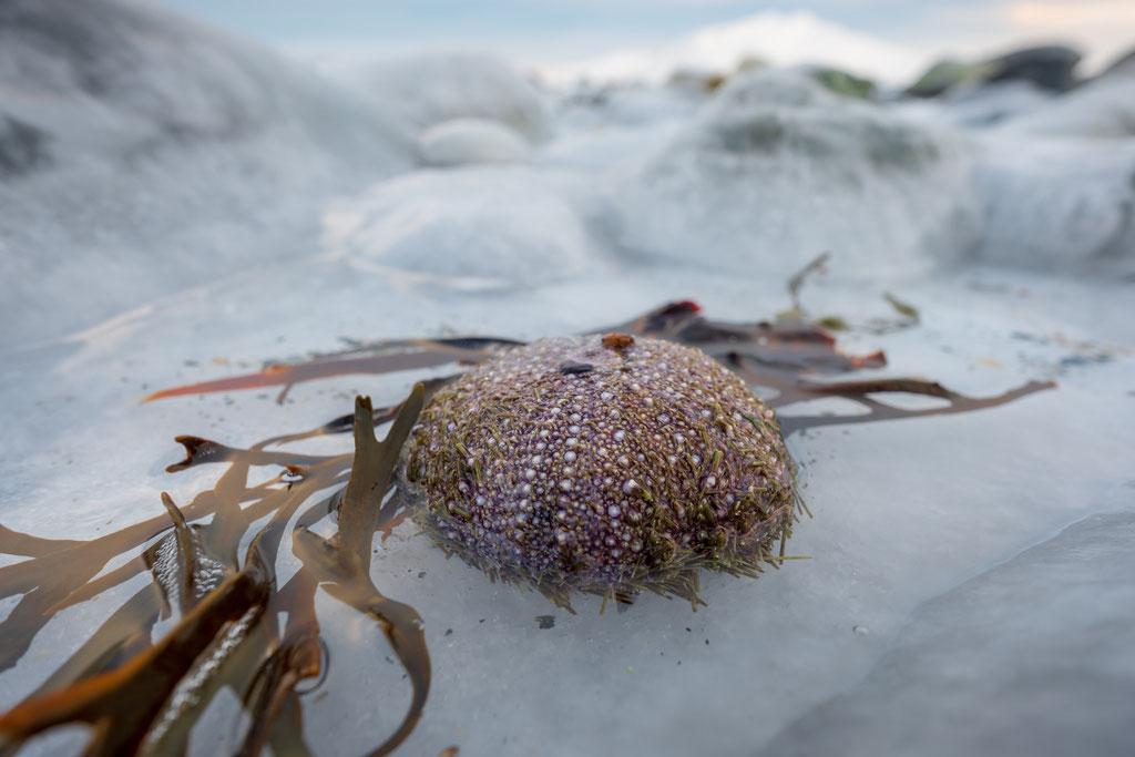 Seeigelhülle im Eis, Ringvassøya