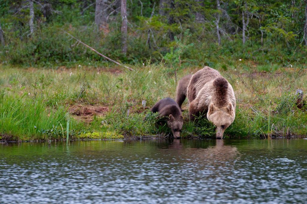 Trinkende Bären