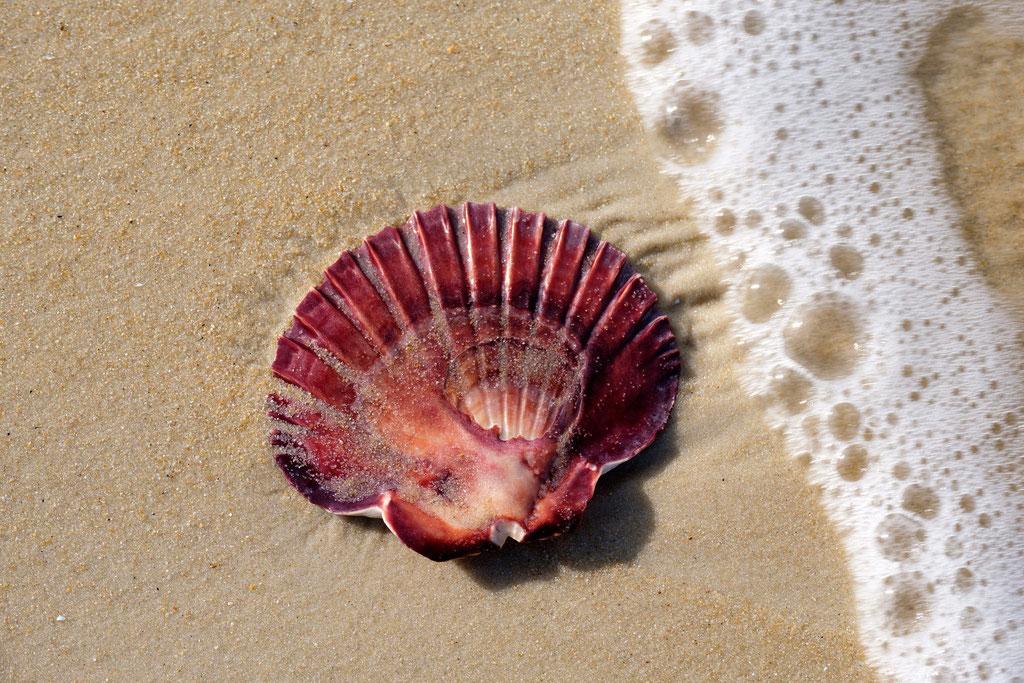 Muschel mit Welle, Shell with wave Hazard Beach, Freycinet-National Park