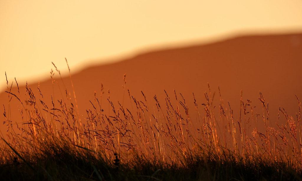 Gras im Abendlicht Vestfirðir Westfjorde
