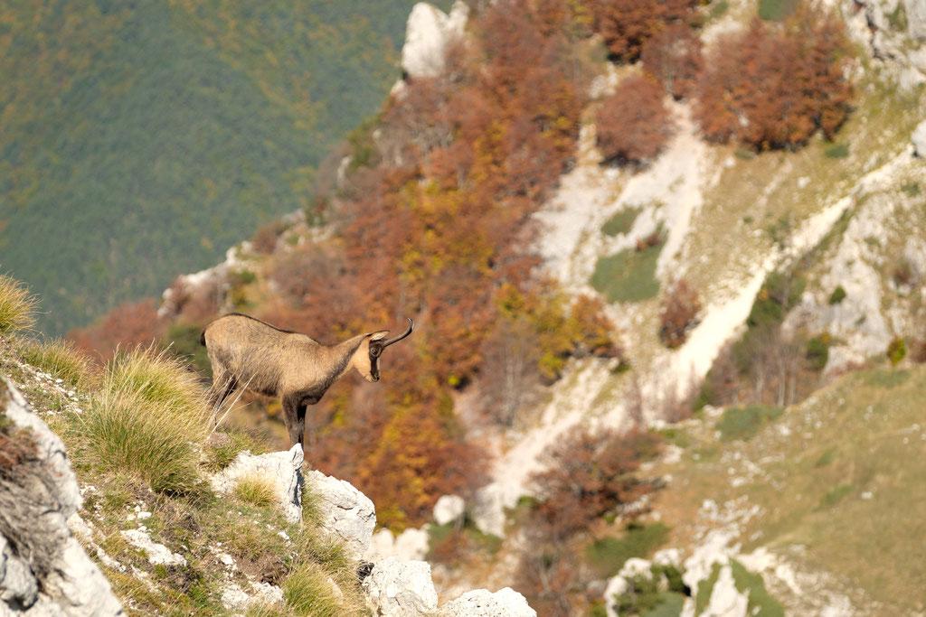 Abruzzengämse am Passo Cavuto