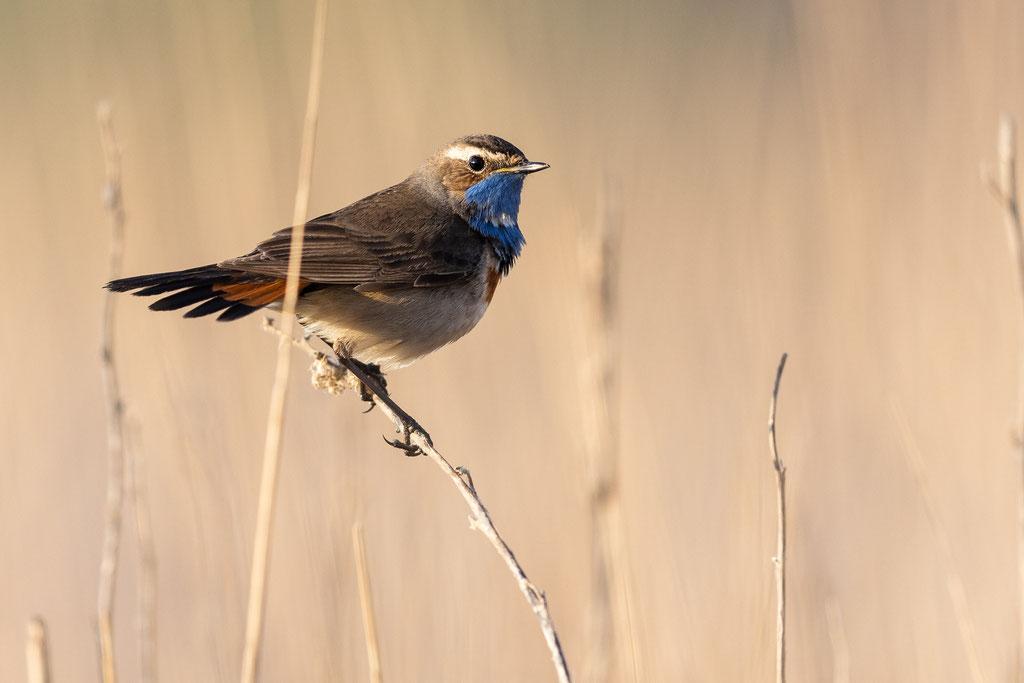 An der Schnabelform erkennt man, daß das Blaukehlchen sich von Insekten und Raupen ernährt