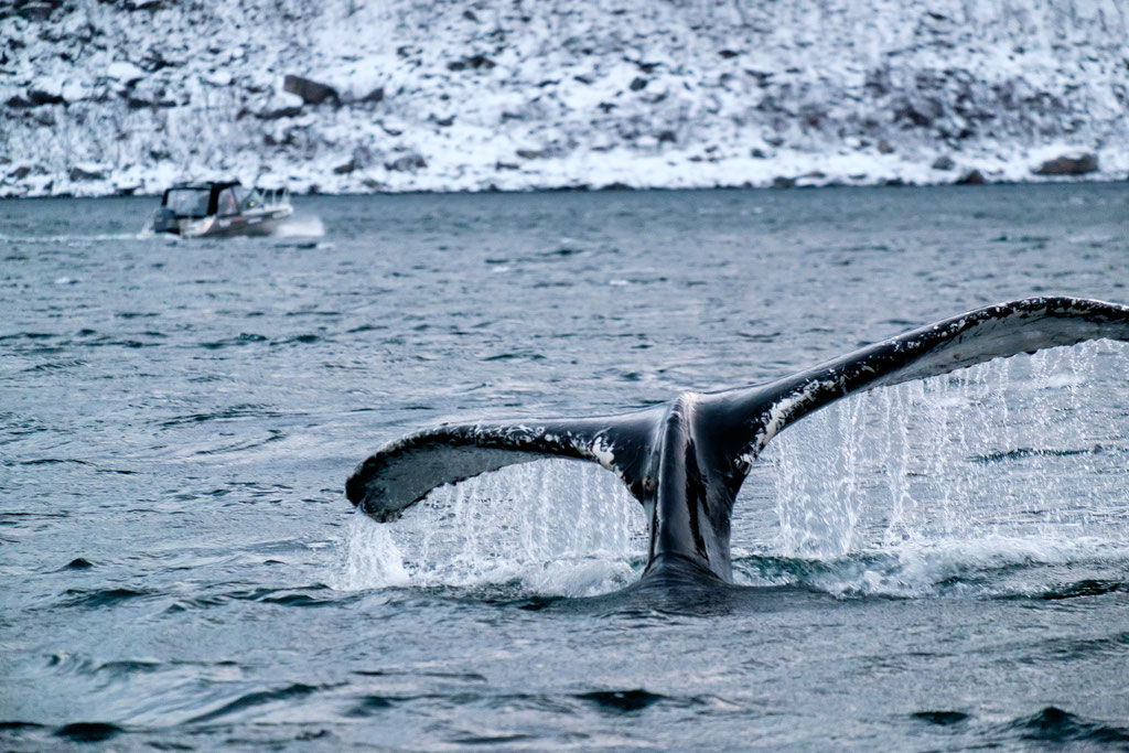Buckelwal Humpback-Whale