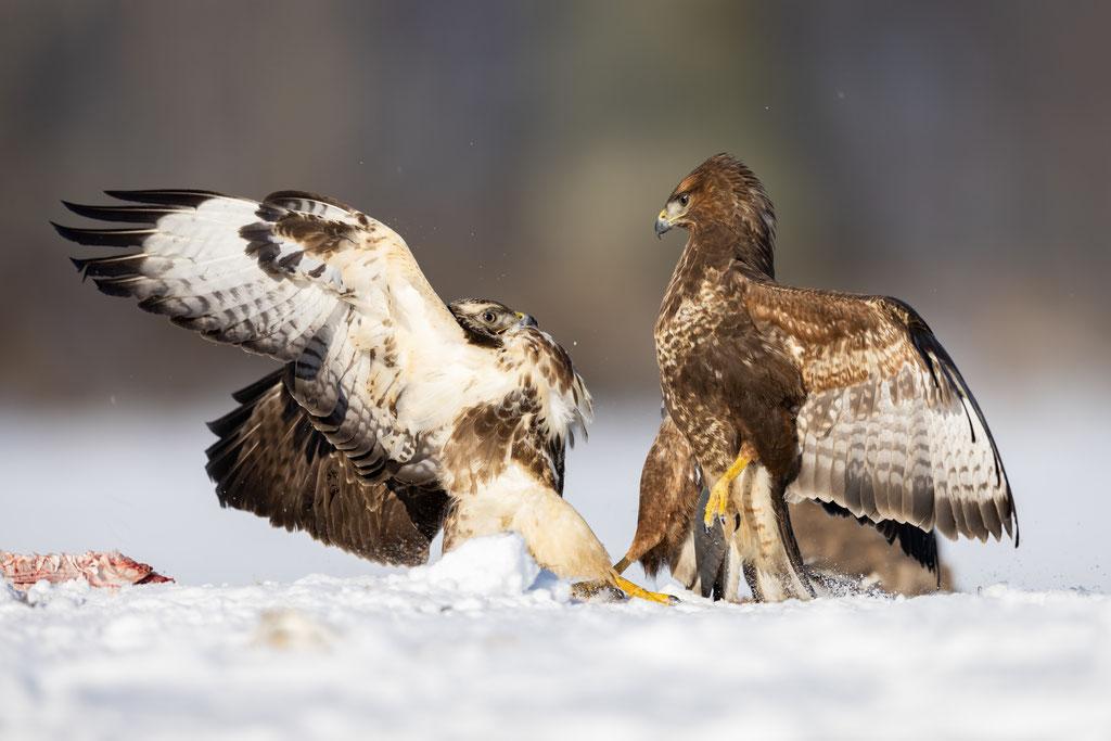 Hier wird klar, wer der Chef im Ring ist. Oder ist es eine Chefin? Bei Greifvögeln sind i.d.R. die Weibchen die kräftigeren.