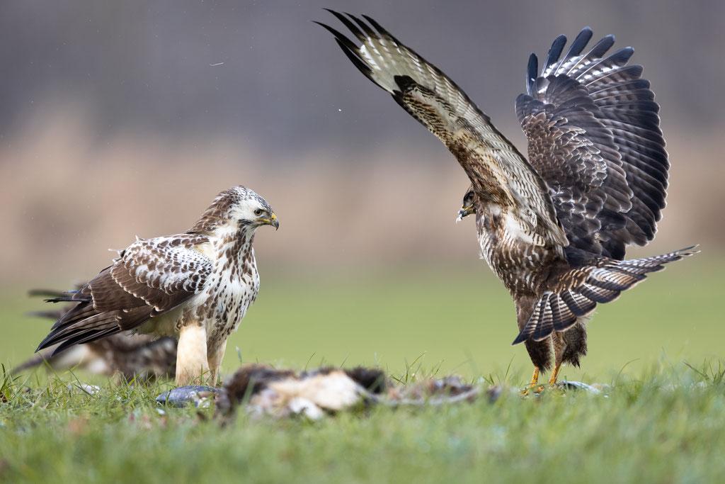 Mnachmal muss man auch mit erhobenen Flügeln drohen. Links eine sehr schöne, helle Variante.