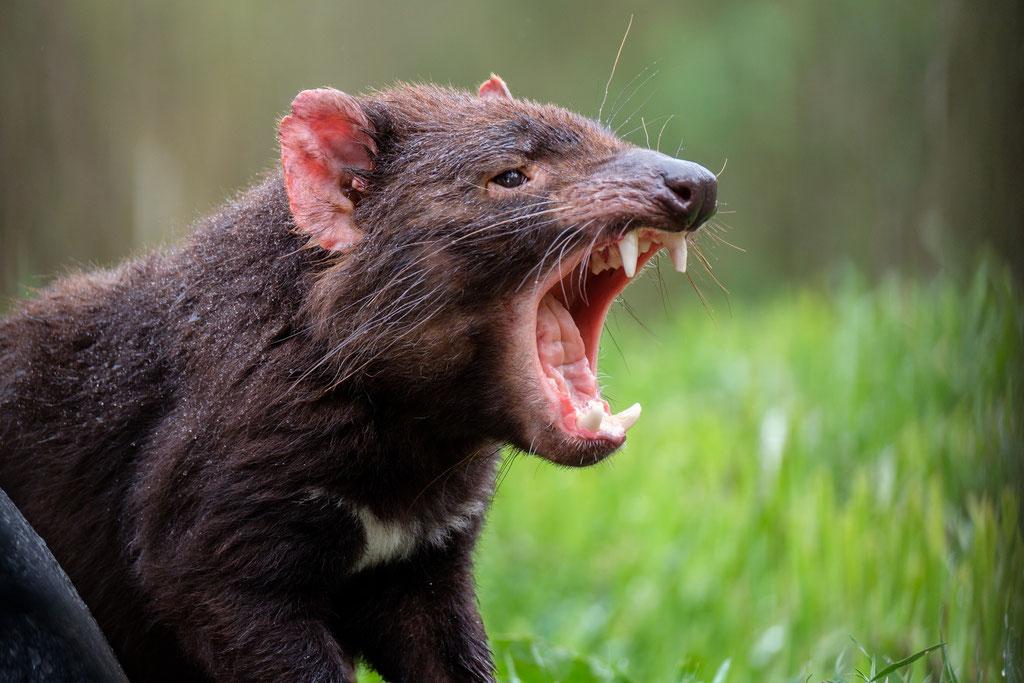 Tasmanischer Teufel Tasmanian Devil  (Sarcophilus harrisii)