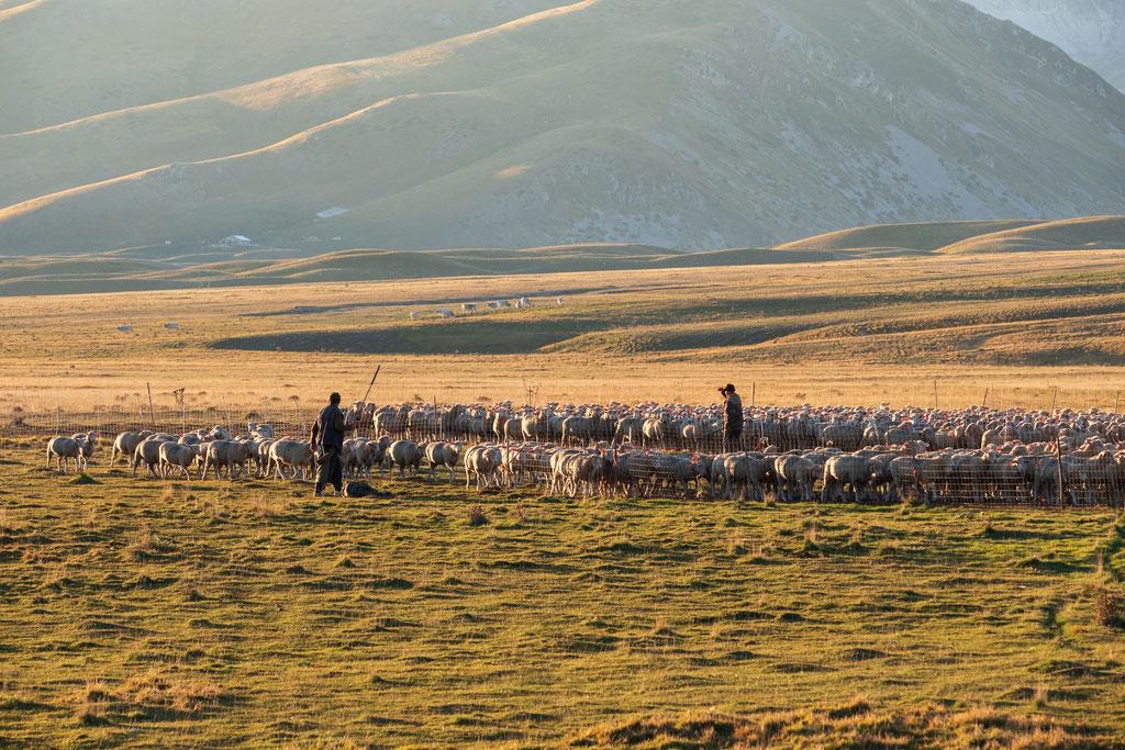 Die Ohren der Schafe leuchten rot, weil die tiefstehende Abendsonne hindurch scheint
