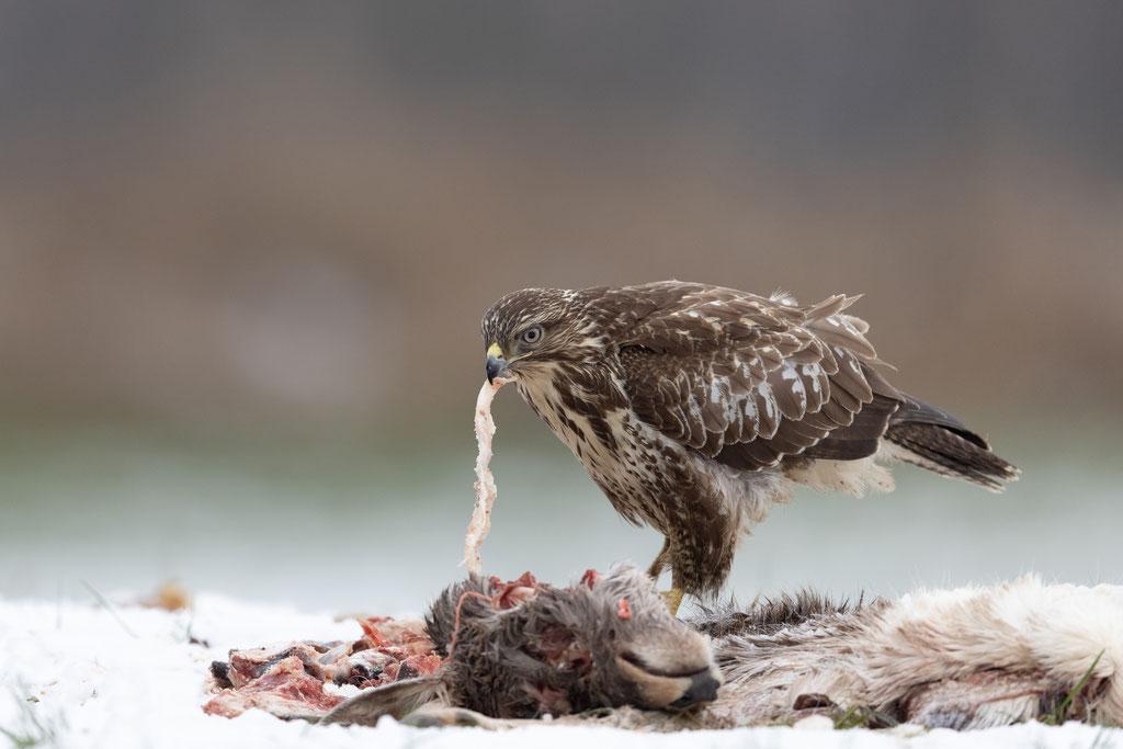 Bei Schnee sind viele Greifvögel auf Aas angewiesen.