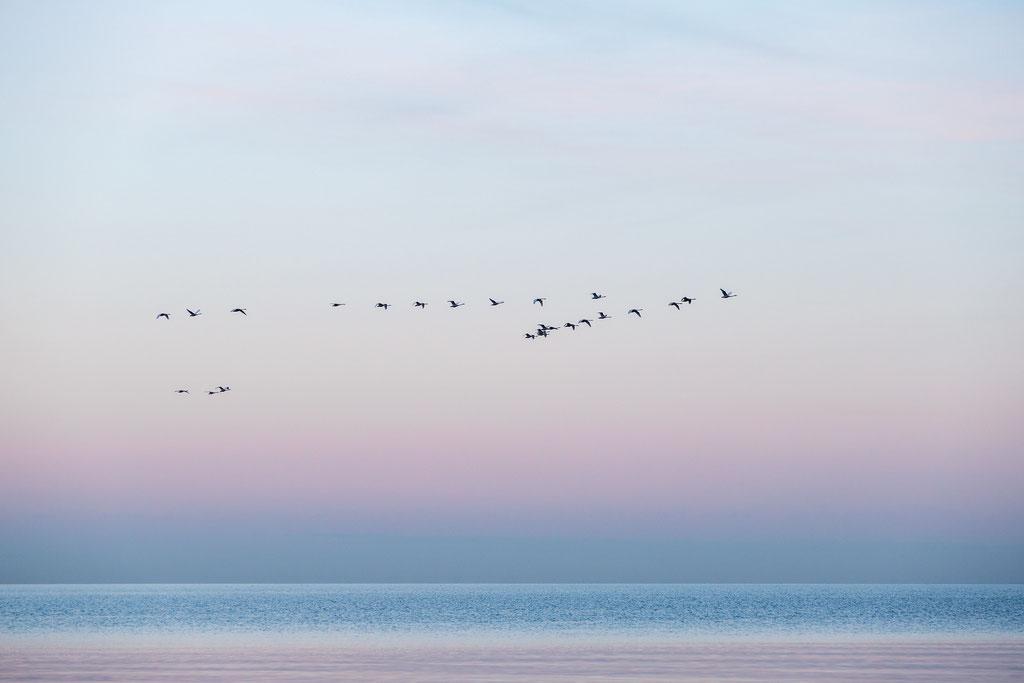 Singschwäne überm Meer