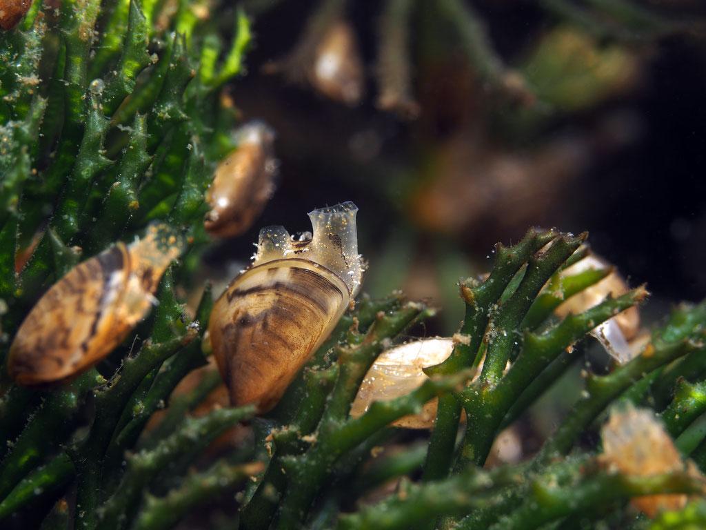 ca. 1cm kleine Dreiecksmuscheln