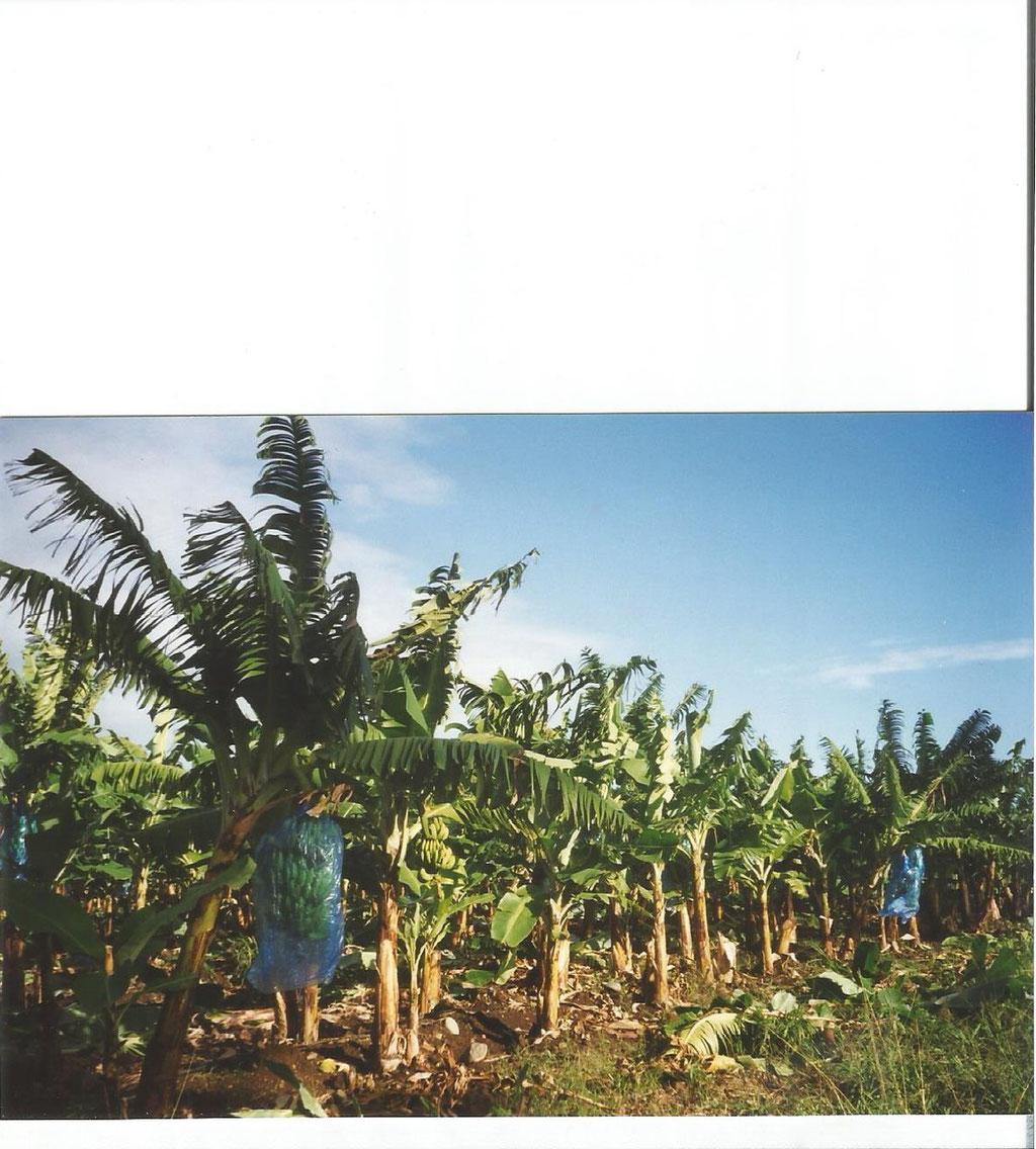 bananeraie  Basse -Terre