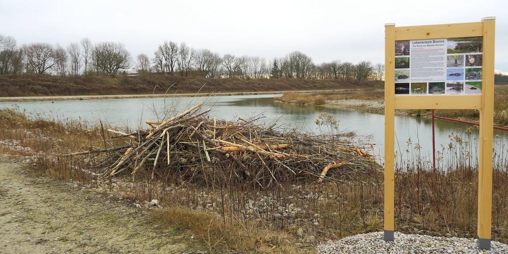 Neue Biberburg am renaturierten Ufer