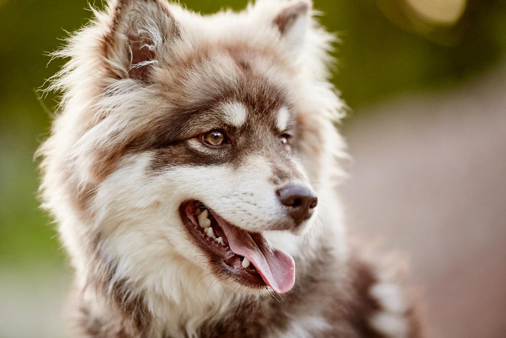Hundeshooting mit finnischem Lapphund Falco in Rheinfelden