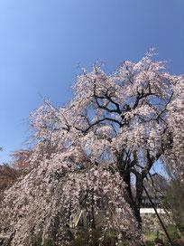 東郷寺 桜2021