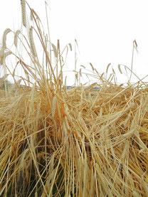 穀物の代表選手、麦に危機が迫っている!(写真はイメージです)