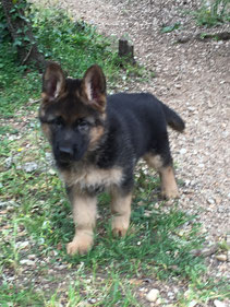 chiots berger allemand disponibles