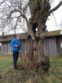 Pomologe Georg Loferer bei der Probenahme an einem alten, vergreisten Birnbaum.