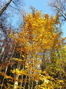 goldener Herbstlaubbaum