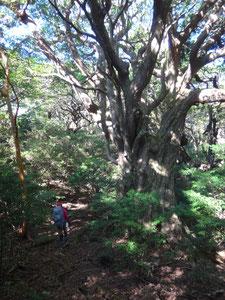 花山歩道の屋久杉