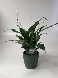 Spathiphyllum Chico in wit keramiek
