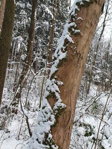 Moos-Schneemuster auf Baumstamm