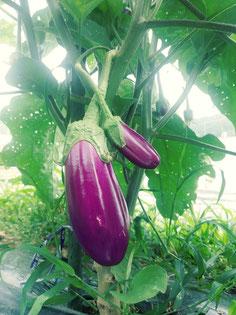 ミモレ農園 茄子(絹むらさき)