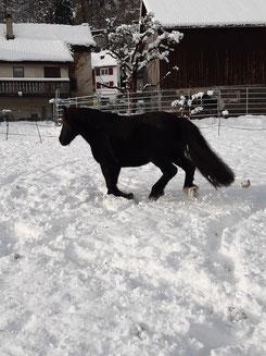 Pony Duke galoppiert durch den Schnee