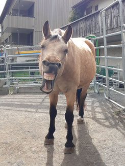 Pferd Philomena gähnt