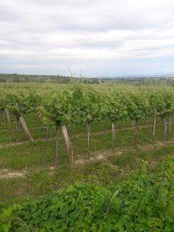 Grüner Veltliner Weingarten Weinfamilie Schober Feuersbrunn